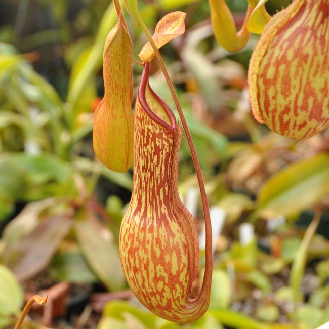 Nepenthes St. Mercury