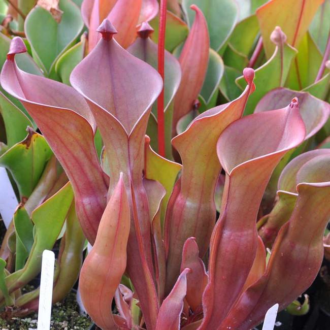 Heliamphora nutans, mother plant.