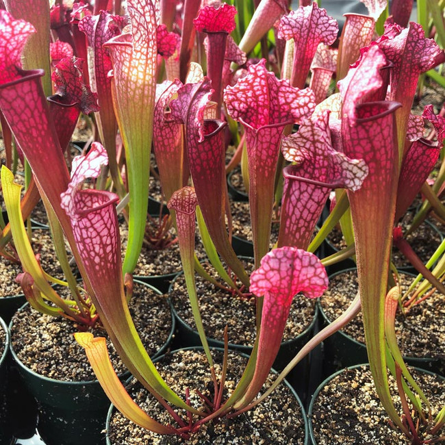 Sarracenia Jutahtip Soper for Sale.