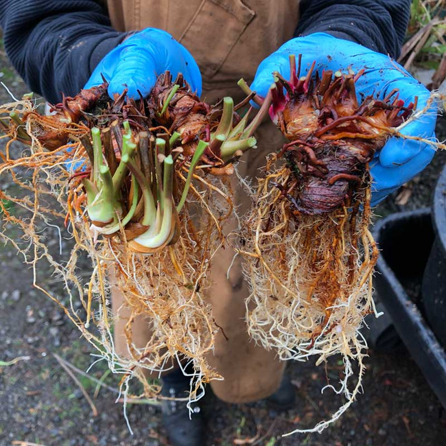 Mature  bare root rhizomes for sale.