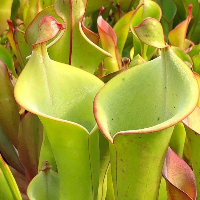 Heliamphora tatei x (arenicola x ionasi), mother plant.