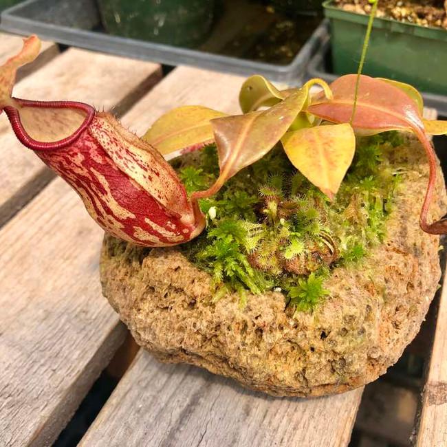 Rock Garden with Nepenthes Gaya