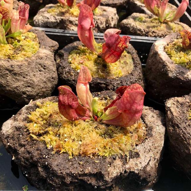 Rock Garden - Sarracenia purpurea