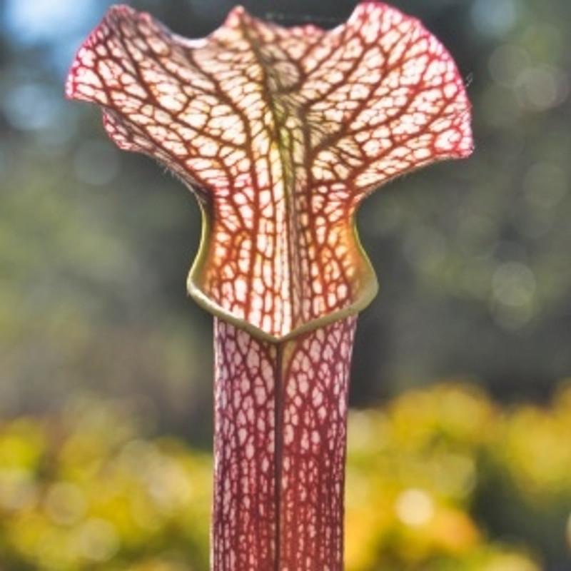 Leuco x rubra gulfensis red carnivorous live Sarracenia plant