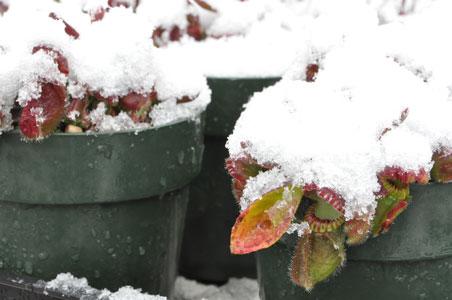 Cephalotus in snow.