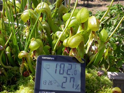 Darlingtonia don't mind a brief heat wave.