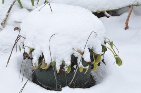 In winter, flytraps are dormant!