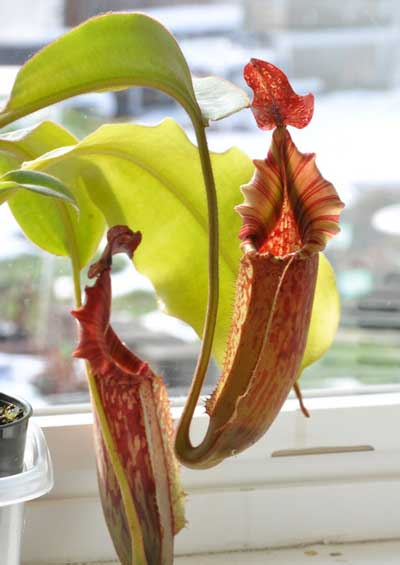 Carnivorous Plants for the Home