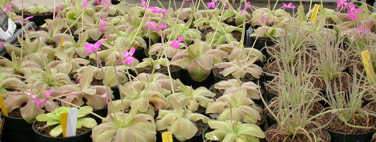 Grow Tropical Butterworts