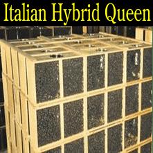 3 pound Italian Hybrid honey packaged bees queen honey bee packages Iowa Minnesota Missouri Nebraska South Dakota North Dakota Wisconsin Illinois Kansas United States