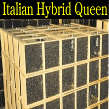 2 pound Italian Hybrid honey packaged bees queen honey bee packages Iowa Minnesota Missouri Nebraska South Dakota North Dakota Wisconsin Illinois Kansas