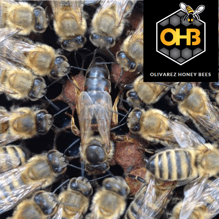 Saskatraz Queen Honey Bees For Sale Free Shipped $40