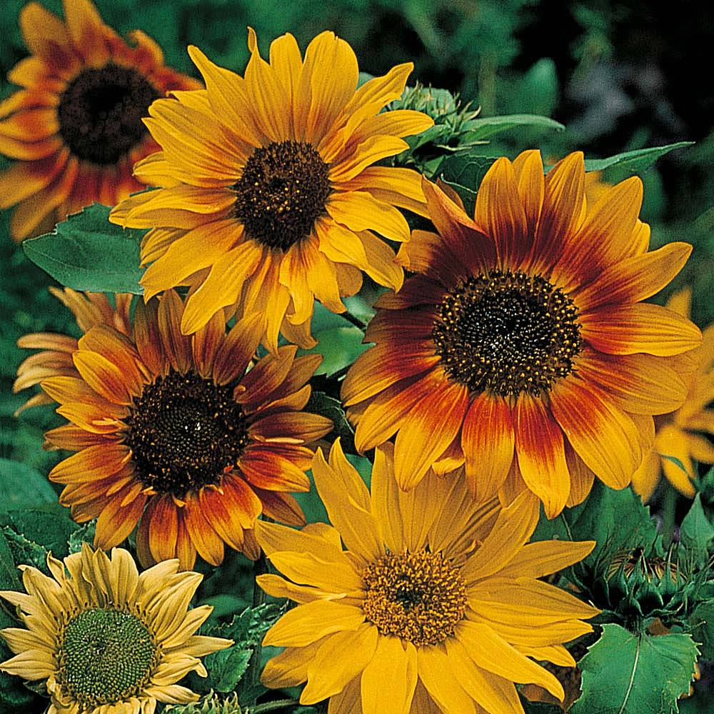 Sunflower Seed Mix - Bright Summer Daze