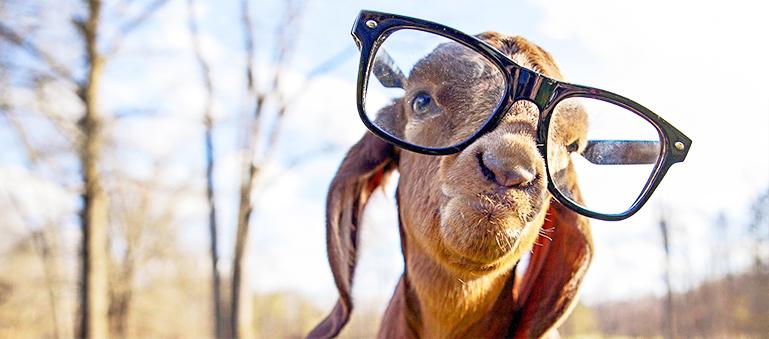 goat-glasses2.jpg