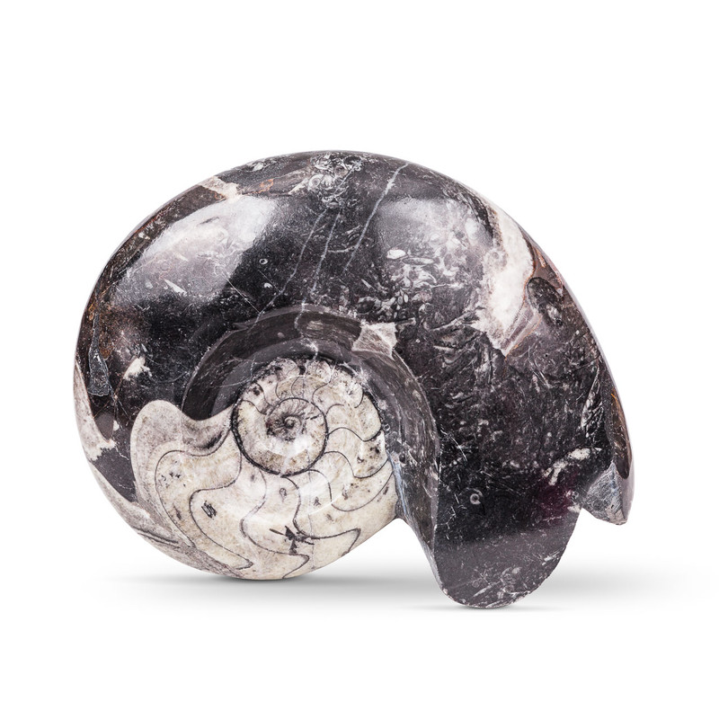 Goniatite Fossil
