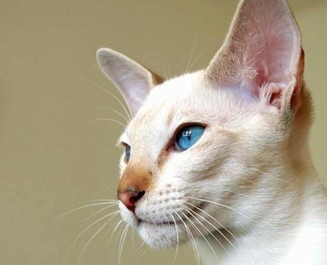 Cats Remedies By Breed Colorpoint Shorthair Nhv Natural Pet