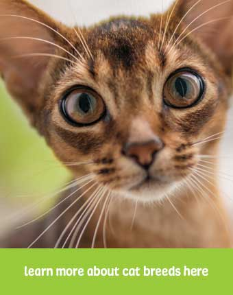 abyssinian cats are prone to stomatitis, FIP, and eye health conditions