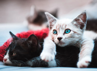 cat's health issues by breed