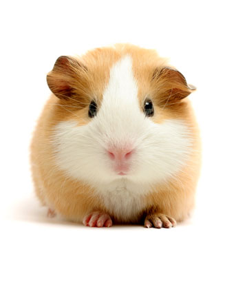 herbal remedies for guinea pigs