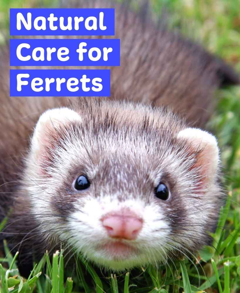 herbal remedies for ferrets