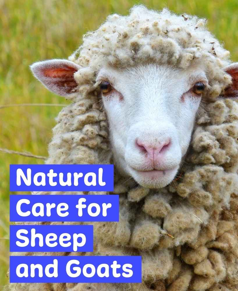 remedies for sheep and goats