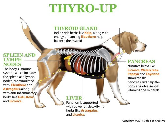 Thyro Up For Hypothyroidism In Dogs