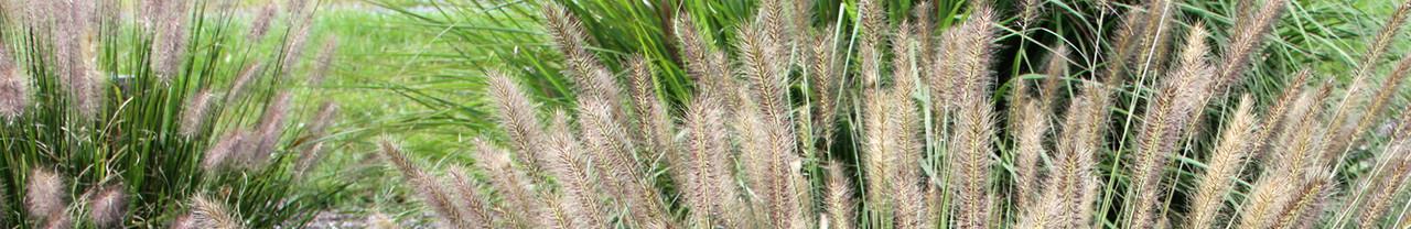 Infertile Grasses