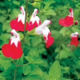 Try A Little Tenderness  (Ruellia and  Salvia)