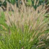 Just When You Think You've Seen It All...Pennisetum 'Yellow Ribbons'