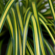 Culture Tips for Carex oshimensis