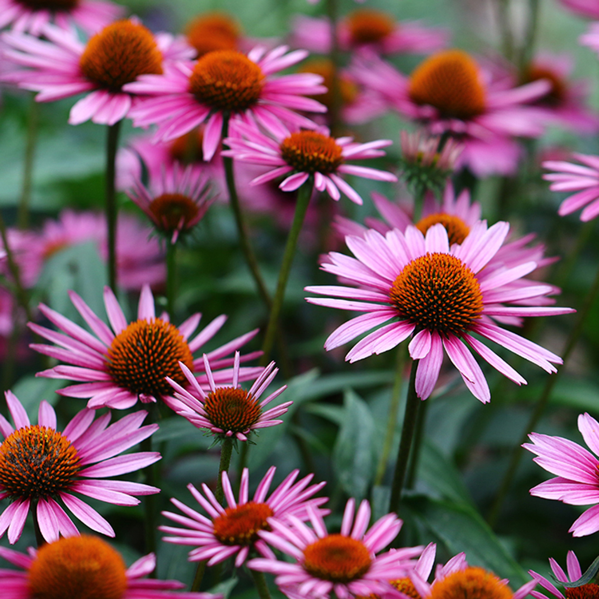 Image result for echinacea purpurea