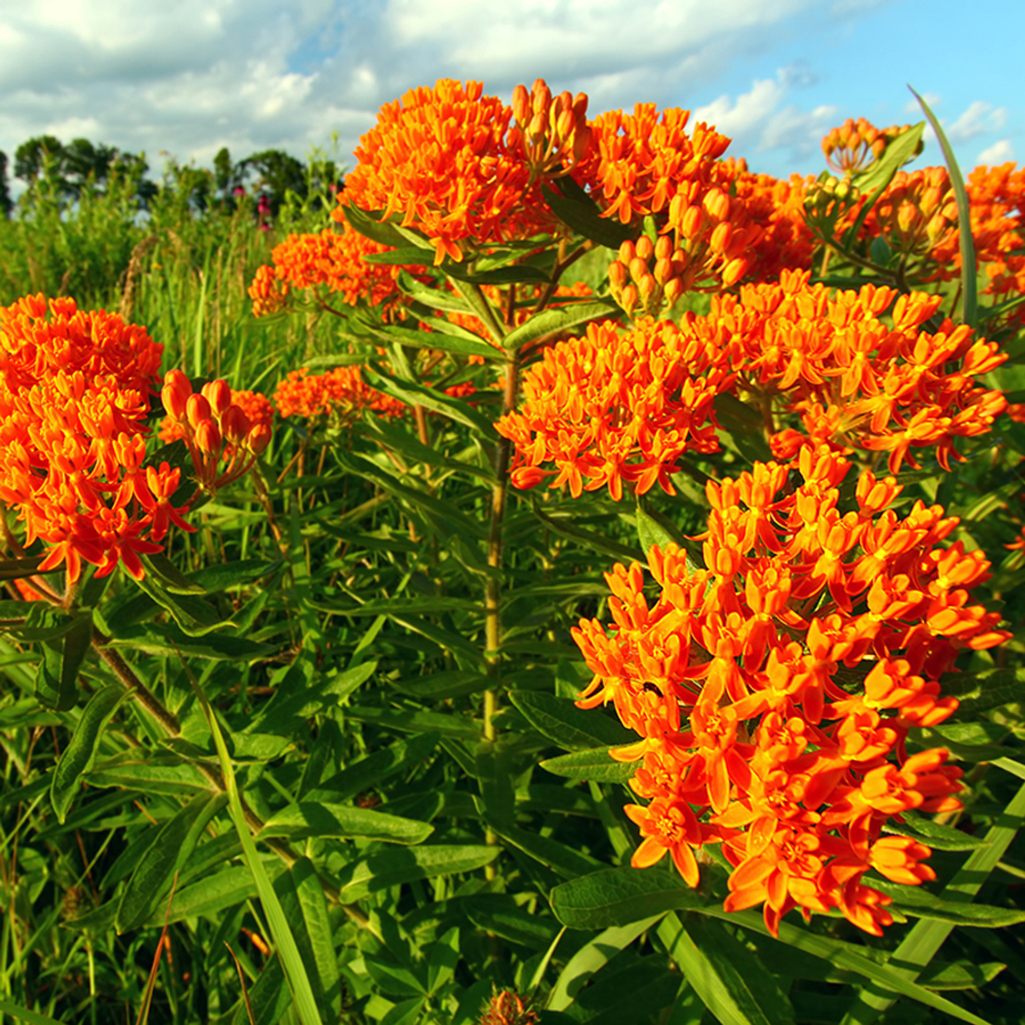 Asclepias tuberosa (72 cells) liners from Emerald Coast Growers