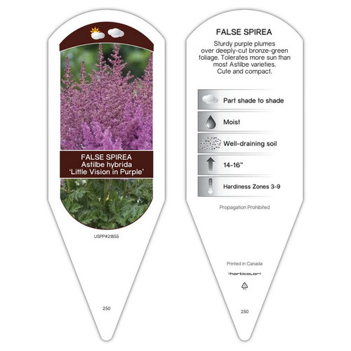 Astilbe chinensis Little Vision in Purple  1 Tag