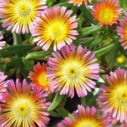 Delosperma Wheels of Wonder Salmony Pink (72 cells) PPAF