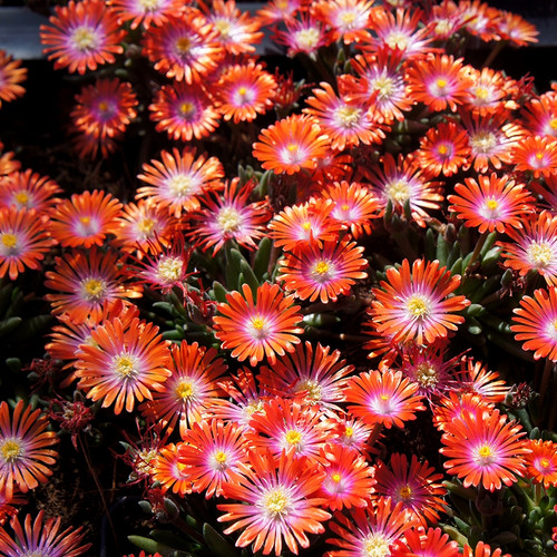 Delosperma Jewel of Desert Sunstone (72 cells) PPAF