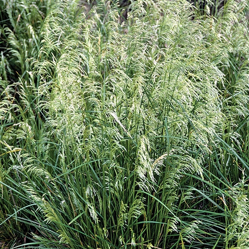 Deschampsia cespitosa Pixie Fountain (50 cells)