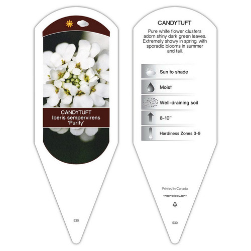 Iberis sempervirens Purity  1 Tag