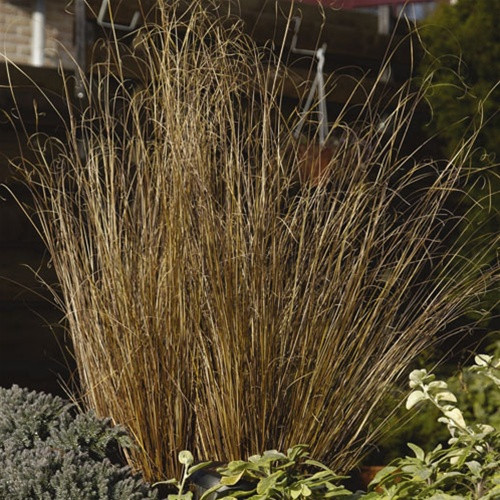 Color Grass - Carex buchananii  Red Rooster™ (72 cells)