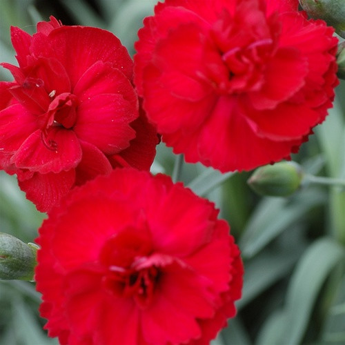 Dianthus EARLY BIRDS™ Radiance (72 cells) PP21824