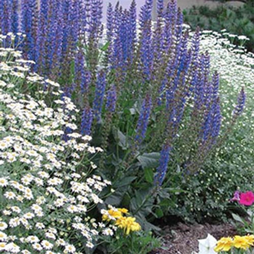 Salvia nemorosa May Night (50 cells)