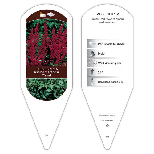 Astilbe arendsii Fanal  1 Tag