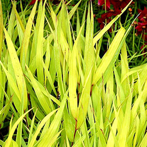 Hakonechloa macra All Gold (50 cells)