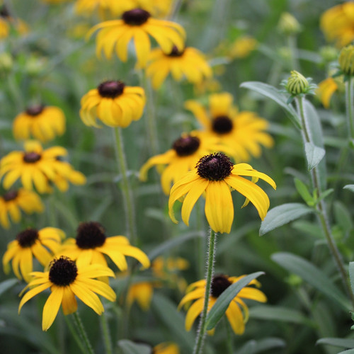Rudbeckia x American Gold Rush (72 cells) PP28498