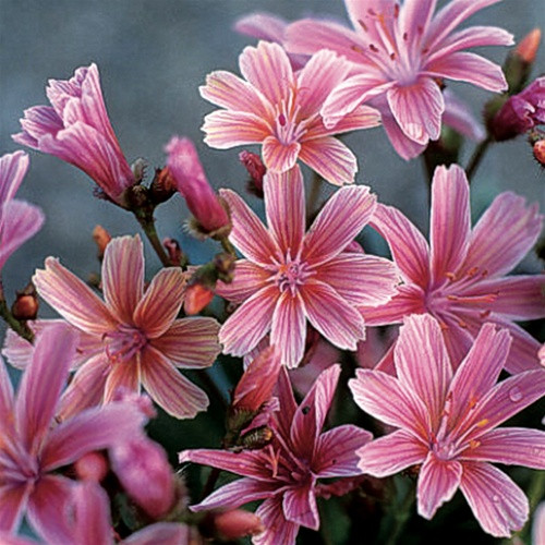 Lewisia xlongipetala Little Plum (72 cells)