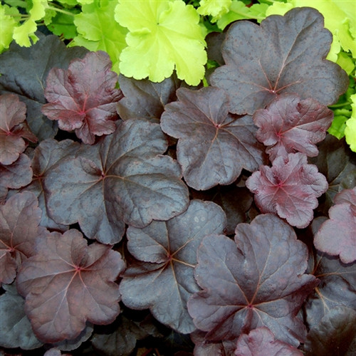 Heuchera Obsidian  (72 cells) PP14836