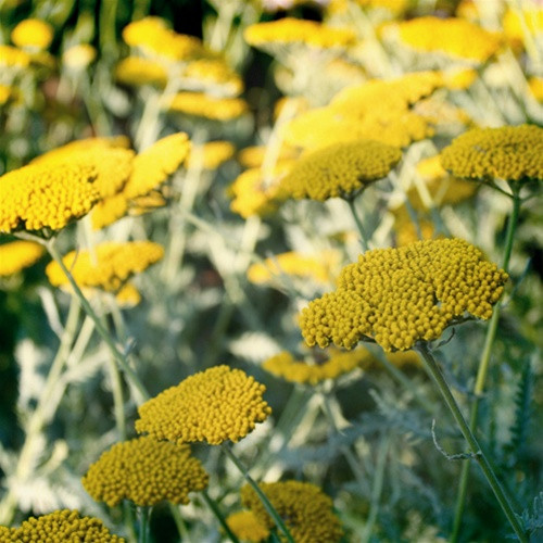 Achillea Moonshine (72 cells)