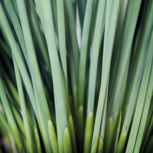 Juncus inflexus (Fantastic Foliage Blue Arrows™) (72 cells)