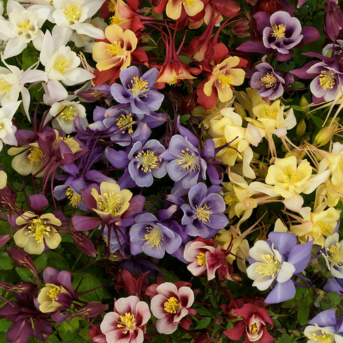 Aquilegia Earlybird™ Mix (72 cells)