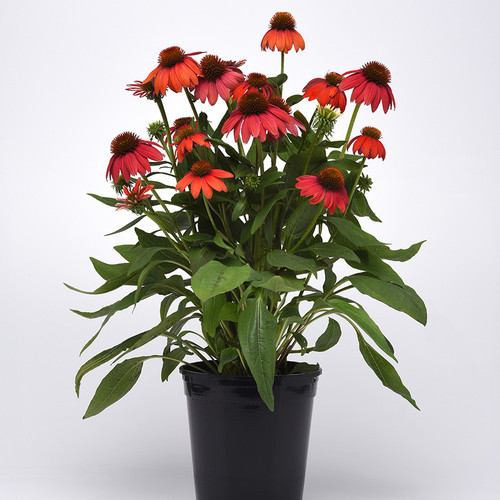Echinacea Artisan™ Red Ombre (72 cells)