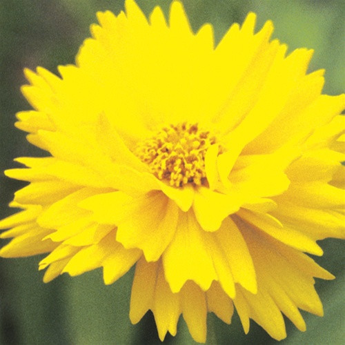 Coreopsis grandiflora Early Sunrise (72 cells)